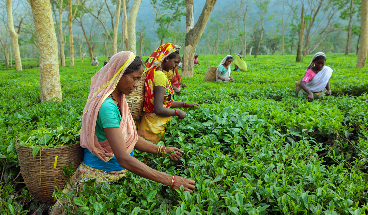 Bengal Allows Construction In Tea Estates To Boost Tourism, Jobs